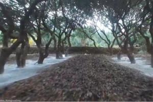 Η Μέδουσα «πέτρωσε» τους μαστιχοπαραγωγούς